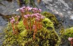 Hairy Stonecrop (Sedum villosum)